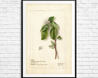 Apple tree, apples, apple trees, apple art, apple illustration, apple botanical, apple blossoms, orchard art, farmhouse decor, horticultural