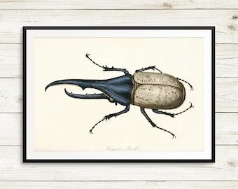 Hercules beetles, rhinocerous beetles, scarab beetles, Scarabaeidae, Dynastes hercules, entymologists, etymology, vintage insect art prints
