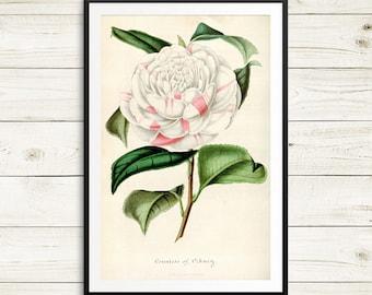 Countess of Orkney, Camellia japonica, flower art, flower botanical prints, floral art print set, vintage botanical art, garden home decor