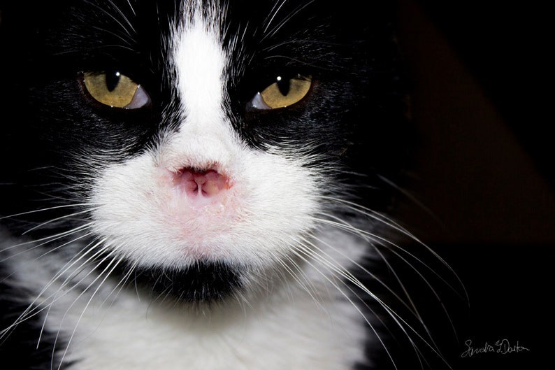 Feral Cat Photo Tuxedo Cat Photo Cat Portrait Veterinary image 0