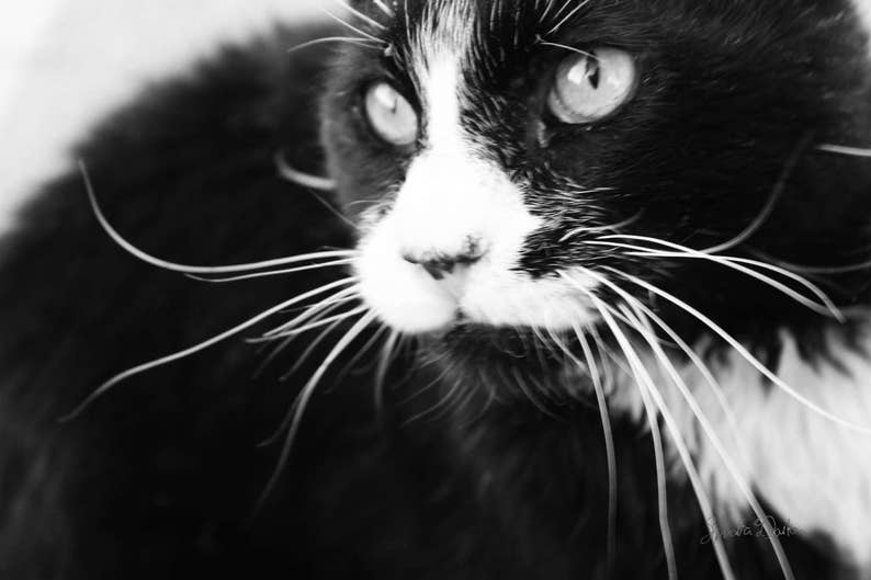Feral Cat Photography Black and White Photo Veterinary Art image 0