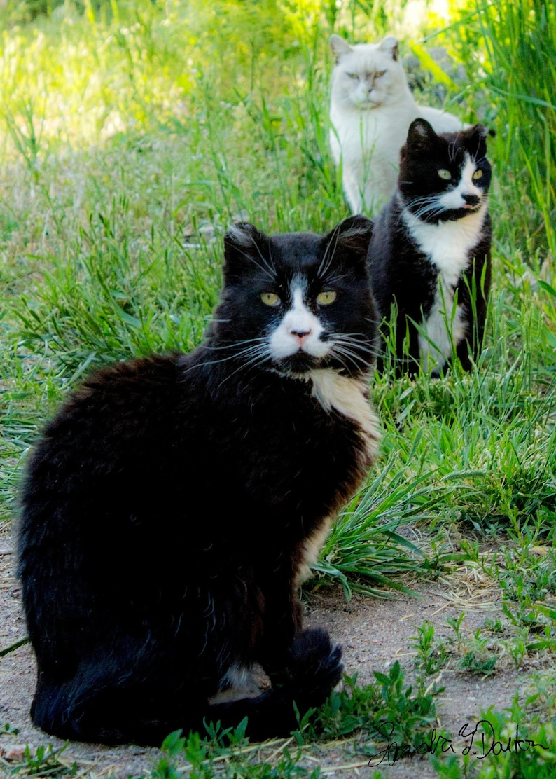 Feral Cat Photo Color Cat Photo Tuxedos Cats Veterinary image 0