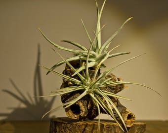 Tillandsia on Driftwood (210)