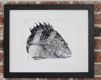 Sheepshead in Charcoal | Giclee Prints