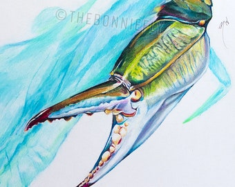 Blue Crab in Prismacolor Pencil | Giclee Prints