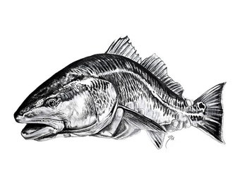 Redfish Black and White Portrait | Giclee Prints