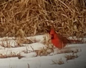 Winter Cardinal Song Bird Photograph