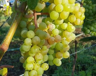 Dwarf Apple Tree, Apple trees, blueberry, grapes, Elderberry, kiwi berry, Fuji, Gala, Honeycrisp, Melrose, Skipley Farm, organic -20