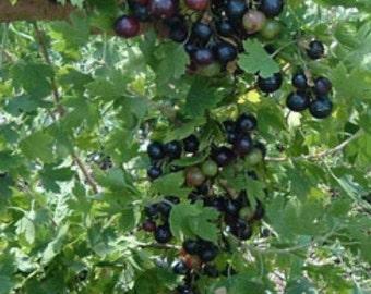 Jostaberry, kiwi berry, Currants, Gooseberry, organic, skipleyfarm, grapes
