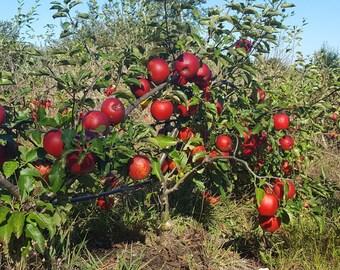 Dwarf Apple tree, 1 year old year old, Fuji, Gala, Honeycrisp, Alkmene, Melrose, Goldrush, Fortune, skipley farm.