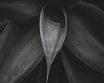 Black and White Succulent Photo, Cactus, Photography, Botanical Print, Nature, Wall Art, Moody, Still Life, Fine Art Photograph, Wall Decor