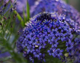 Floral Wall Art, Flower Photograph, Nature Photo, Wall Decor, Botanical Print, Fine Art Photography, Spring, Blue, Violet, Purple