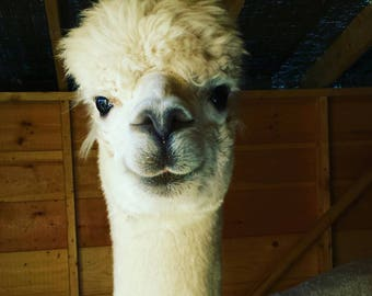 Alpaca love batts