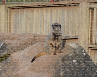 Wooden Jigsaw Puzzle Using Image of a Standing Meerkat