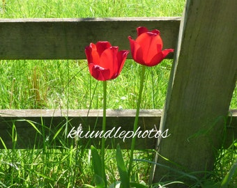 Wooden Jigsaw Puzzle Using Image of Red Tulips against a Fence