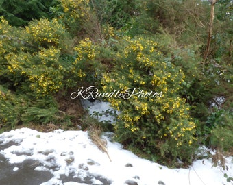 Wooden Jigsaw Puzzle Using Image of Yellow Heather in the Snow