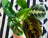 Monsters swiss cheese, prayer plant and enjoy pothos cuttings