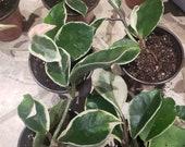 Hoya carnosa variegated quot krimson queen quot