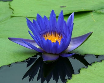 Blue lotus flower etsy blue lotus flower absolute nymphaea cerulean india rare real fine quality blue lotus flower chemical free high grade mightylinksfo