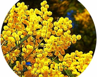Mimosa Absolute POURABLE Acacia decurrens Flower France All natural Perfumery essential oil perfume liquid mobile