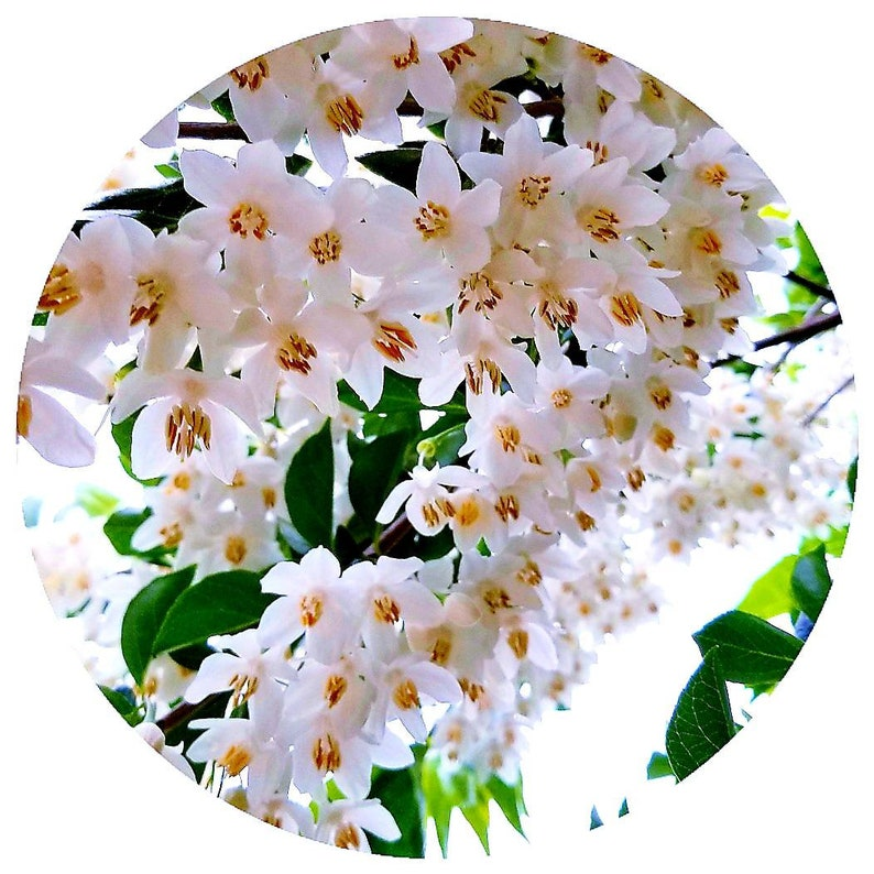 Styrax Benzoin Rare STEAM DISTILLED Resin Essential Oil Indonesia Organic  Styracaceae Vanilla - Like Balsamic scent Fixative Perfume Cologne