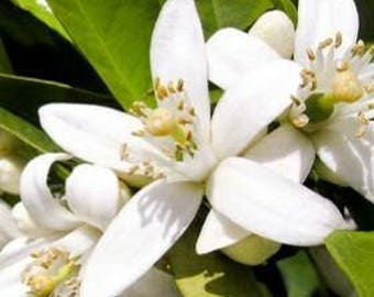 Orange Blossom (Citrus aurantium) Fine Neroli Absolute Perfumery Aromatherapy