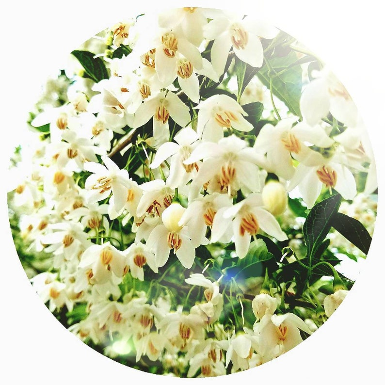 Benzoin Essential oil STYRAX TONKINENSIS Steam distilled Laos Wild crafted  wildcrafted delicate soft sweet bouquet Natural perfume perfumery