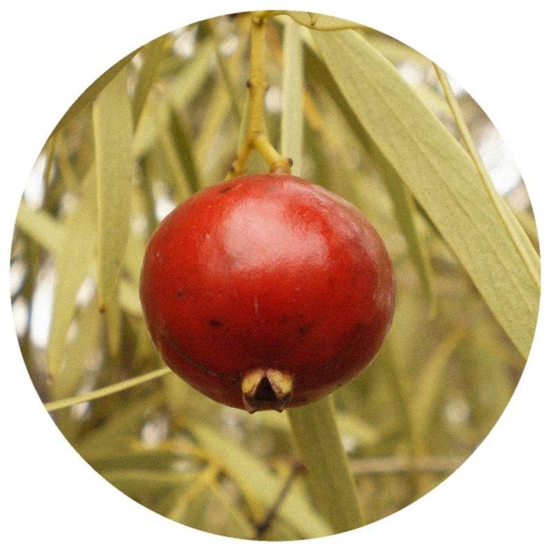 Organic Sandalwood, Nut Seed CO2 Oil (Santalum spicatum) Sustainable CO2  Extract Australian Sandalwood seed nut carrier Ximenynic acid oil