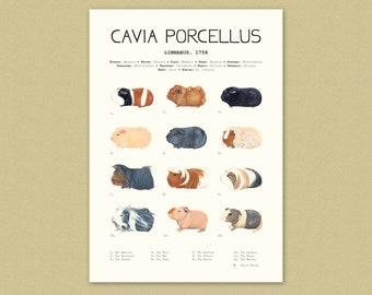Guinea-pig Art print - A4 - painted breeds - cavia porcellus - illustration