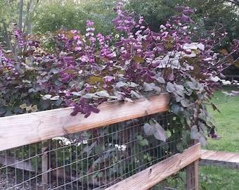 Hyacinth Bean Vine Seeds - Friendship Beans  (Dolichos Lablab)
