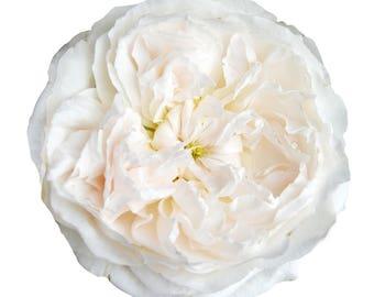 Fresh David Austin Garden Roses
