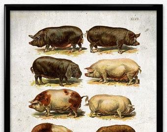 Pigs and Hogs Breeds Vintage Print 1 - Pig Poster - Pig Art - Pig Picture - Pig Illustration - Kitchen Decor - Kitchen Art - Home (VP1045)