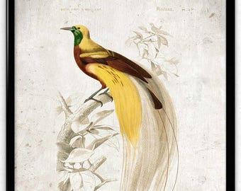 Bird of Paradise Vintage Print - Bird Poster - Bird Art - Bird Picture - Bird Illustration - Home Decor - Wall Art - Orbigny (VP1052)