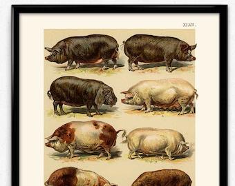 Pig breeds   Etsy