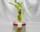 GOL2012-7 3 Stalks Lucky Bamboo in a 4 quot Glass Vase with Red Ribbon