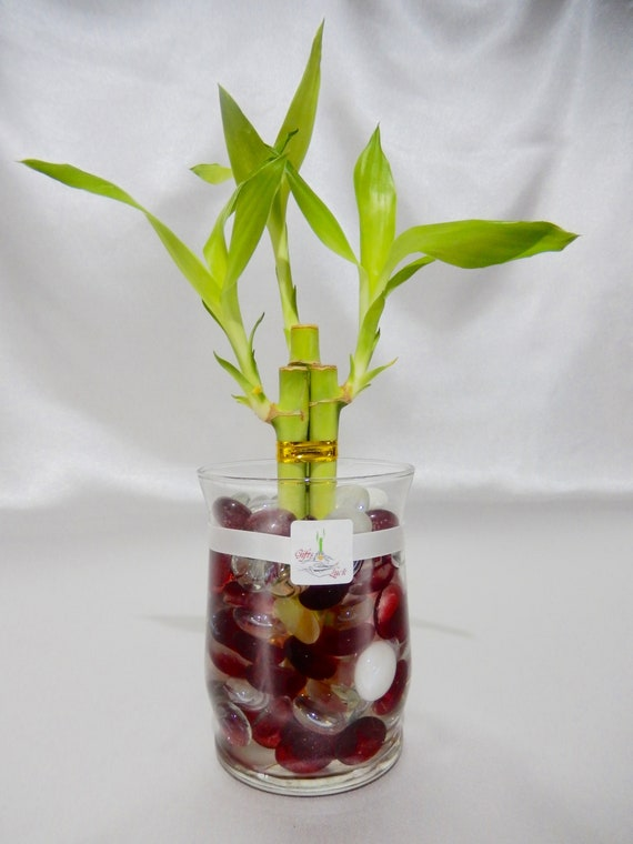 Gol2012 3 3 Stalks Lucky Bamboo Plant In A 4 Glass Vase Etsy