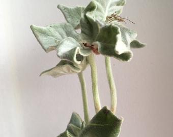 Caudex : Sinningia leucotricha
