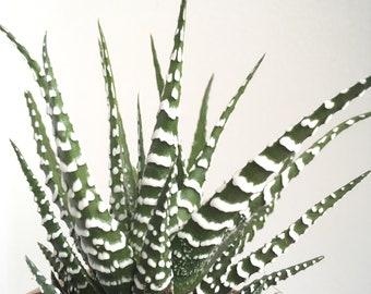 Plante succulente : Haworthia zebrina