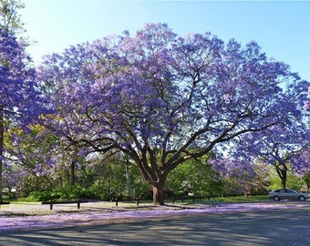 4 Live Purple Jacaranda Trees, with Pots and Growing Instructions