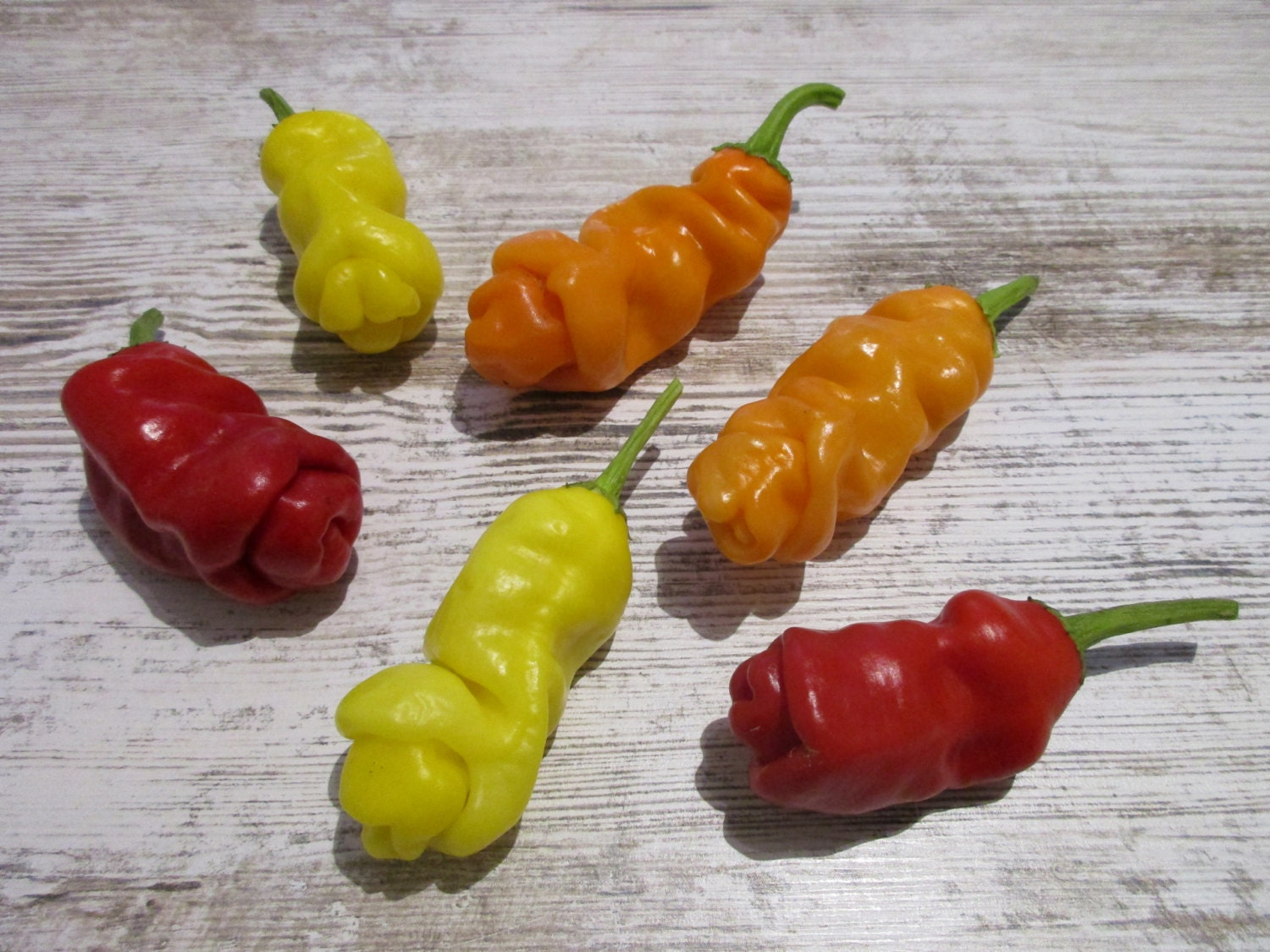 7 Pot Brown Trinidad Scorpion 5 Samen Super HOT Chili Chilisamen
