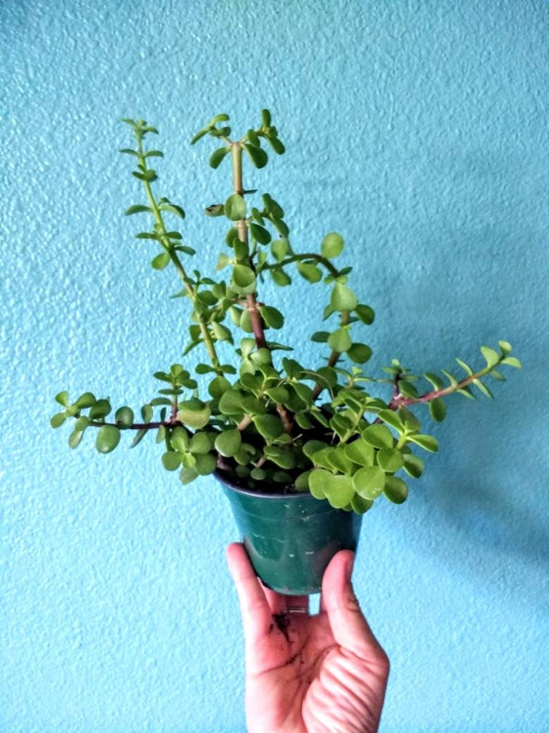 Elephant Ear Jade Succulent Cutting Portulacaria Afra Small Etsy