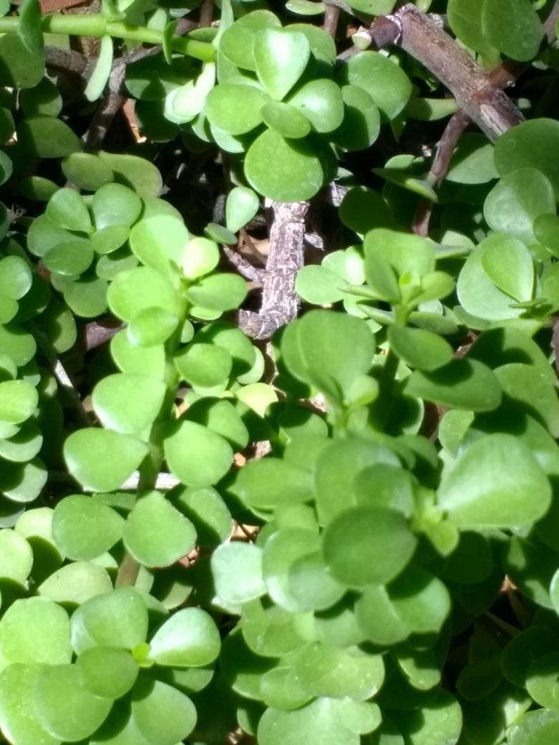 small jade Elephant ear Jade succulent cutting Portulacaria afra