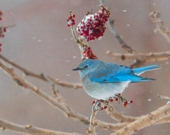 Mountain Bluebird Photograph