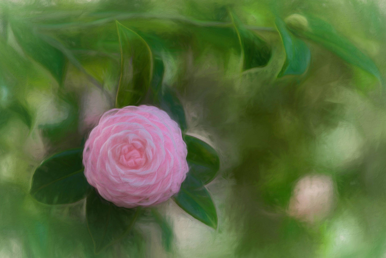 Camellia Watercolor Edit Print Pink Camellia Art Pink Etsy