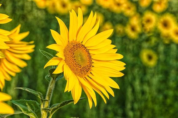 Sunflower Morning Print Sunflower Metal Yellow Flower Art Etsy