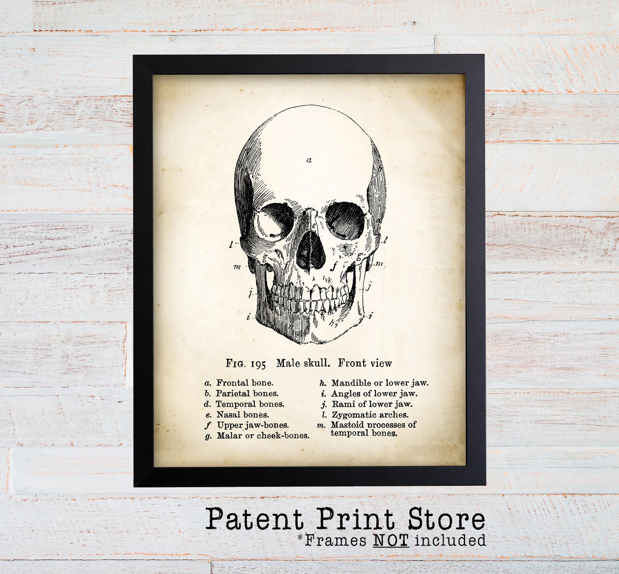 Vintage Human Skull Art Print Antique Anatomy Wall Art Human