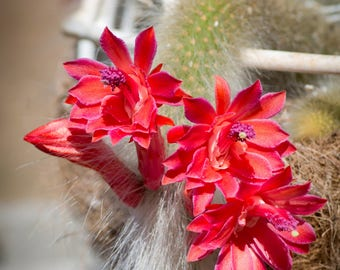 Monkey's Tail Cactus Flowers Photo for Instant  Download