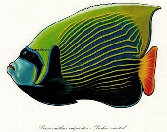 Angelfische datieren