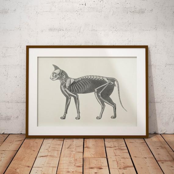 Antiguo esqueleto de animal-gato ilustraciones de anatomía