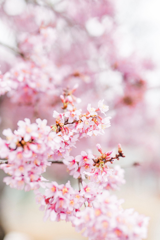 Pink Dogwood Flowers In North Carolina Spring Etsy